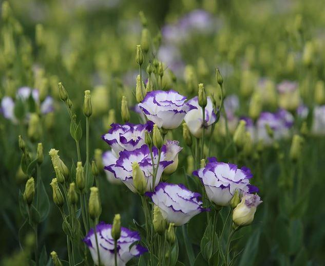 Hoa cát tường - Loài hoa tượng trưng cho sự vui sướng, hạnh phúc và may mắn  - 350 Việt Nam